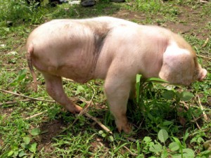 The Three Legged Pig